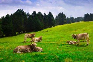 Mucche Galiziane